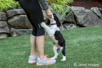 Woman rewarding her two month old Springer Spaniel puppy, Tre, for his good behavior