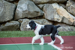 Two month old Springer Spaniel puppy, Tre, walking on the plastic tiled sports court in his backyard