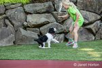 two month old Springer Spaniel puppy, Tre