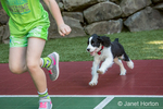 Two month old Springer Spaniel puppy, Tre, enthusiastically chasing his seven year old owner