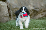 Two month old Springer Spaniel puppy, Tre, playing with a tennis ball