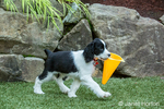 Two month old Springer Spaniel puppy, Tre,  playing with an orange plastic cone in his yard