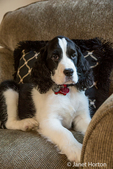 Two month old Springer Spaniel puppy, Tre, reclining in a chair after a frisky play session