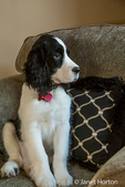 Two month old Springer Spaniel puppy, Tre, sitting in an upholstered chair