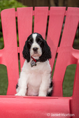 Two month old Springer Spaniel puppy, Tre, sitting in a red plastic lawn chair