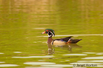 Male Wood Duck swimming in a pond