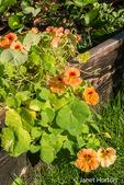 Orange nasturtiums growing next to strawberry plants in a raised bed garden
