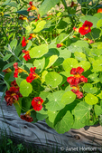 Red nasturtiums growing in a raised bed garden