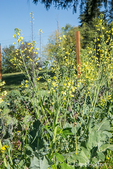 Broccoli gone to flower (or seed).