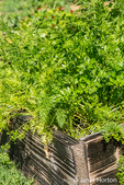Carrots and parsley growing in the same garden space