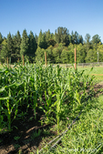 Various heirloom corn varieties growing on a sunny day