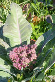 Purple Cauliflower growing