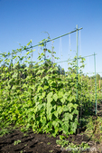 Kentucky Wonder pole beans growing on a string trellis on a sunny day