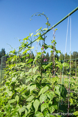 Good Mother Stallard pole beans growing on a string trellis