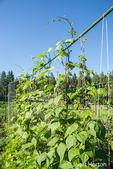 Good Mother Stallard pole beans growing on a string trellis