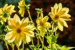 Yellow Dahlia flower taken in the Hiram Chittenden Locks gardens