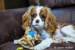 Six month old Cavalier King Charles Spaniel puppy with a stuffed animal chew toy resting on a sofa