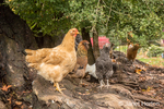 Free-ranging Buff Orpington, Red Laced Wyandotte, Cuckoo Maran and White Leghorn hens standing at the base of a large tree