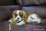 Six month old Cavalier King Charles Spaniel puppy with a stuffed animal chew toy