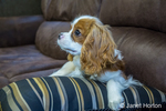 Six month old Cavalier King Charles Spaniel puppy resting on a pillow on a sofa