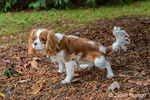 Six month old Cavalier King Charles Spaniel puppy urinating outside