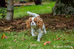 Six month old Cavalier King Charles Spaniel puppy playing outside on an Autumn day