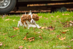 Six month old Cavalier King Charles Spaniel puppy running outside on an Autumn day