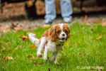 Six month old Cavalier King Charles Spaniel puppy chasing a toy thrown by his owner, outside on an Autumn day