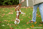 Six month old Cavalier King Charles Spaniel puppy playfully jumping up to grab a leaf from his owner, outside on an Autumn day