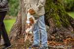 Six month old Cavalier King Charles Spaniel puppy jumping up on his owner, trying to get a toy, outside on an Autumn day