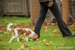 Six month old Cavalier King Charles Spaniel puppy walking and sniffing outside on an Autumn day