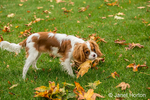 Six month old Cavalier King Charles Spaniel puppy playfully eating a leaf outside on an Autumn day