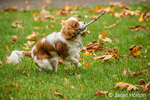 Six month old Cavalier King Charles Spaniel puppy fetching a stick outside on an Autumn day