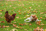 Six month old Cavalier King Charles Spaniel puppy caught off-guard when a Rhode Island Red chicken started chasing him, outside on an Autumn day