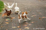 Six month old Cavalier King Charles Spaniel puppy chasing free-ranging Pekin ducks and a Rhode Island Red chicken on an Autumn day