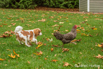 Six month old Cavalier King Charles Spaniel puppy trying to catch a free-ranging Dominique chicken outside on an Autumn day