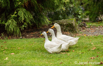 Three free-ranging domestic Pekin ducks strolling through the yard and eating as they go