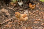 Free-ranging chickens underneath a large tree.  Varieties shown are Golden Laced Wyandotte, Cuckoo Maran, and White Leghorn.