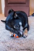 Three year old Shiba Inu dog, Kimi, playing with a ball inside