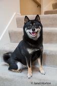 Three year old Shiba Inu dog, Kimi, sitting on a stairwell