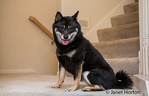 Three year old Shiba Inu dog, Kimi, sitting on a stairwell