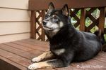 Three year old Shiba Inu dog, Kimi, reclining on a patio bench
