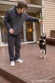 Three year old Shiba Inu dog, Kimi, balancing on hind legs on a wooden deck