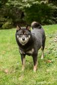 Three year old Shiba Inu dog, Kimi, posing on the lawn