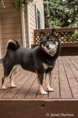 Portrait of three year old Shiba Inu dog, Kimi, posing on a wooden deck