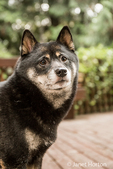 Portrait of three year old Shiba Inu dog, Kimi, posing on a wooden deck