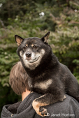 Three year old Shiba Inu dog, Kimi, being carried over the shoulder by his owner