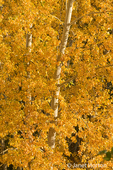 Paper Birch tree in Autumn foliage