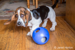 "Three month old Basset puppy ""Emma Mae"" with a blue ball on a hardwood floor"