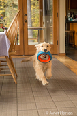 """Four month old Golden Retriever puppy """"Sophie"""" running through her kitchen with a dog ring toy in her mouth"""